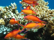 redfin-anthias-pseudanthias-dispar-seabasses-serranidae_male_31084