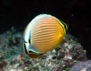 redfin-butterfyfish-chaetodon-lunulatus-butterflyfishes-chaetodontidae_25064
