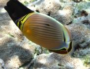 redfin-butterfyfish-chaetodon-lunulatus-butterflyfishes-chaetodontidae_37949