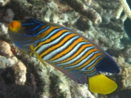 regal-angelfish-pygoplites-diacanthus-angelfishes-pomacanthidae_40758