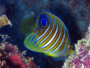 regal-angelfish-pygoplites-diacanthus-angelfishes-pomacanthidae_juv_24599