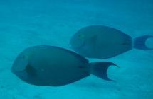 ringtail-surgeonfish-acanthurus-blochii-surgeonfishes-acanthuridae_40498