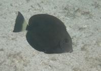 ringtail-surgeonfish-acanthurus-blochii-surgeonfishes-acanthuridae_5227