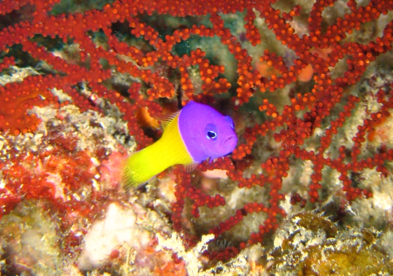 ... Dottyback (Pictichromis coralensis) [Dottybacks - Pseudochromidae