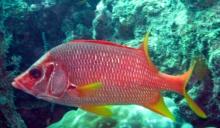 sabre-squirrelfish-sargocentron-spiniferum-squirrelfishes-holocentridae_11406