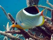 saddled-butterflyfish-chaetodon-ephippium-butterflyfishes-chaetodontidae_10061