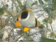 saddled-butterflyfish-chaetodon-ephippium-butterflyfishes-chaetodontidae_juv_39794