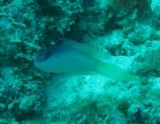sailfin-dottyback-ogilbyina-velifera-dottybacks-pseudochromidae_2882