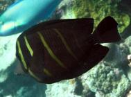 sailfin-tang-zebrasoma-veliferum-surgeonfishes-acanthuridae_3200