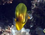 sailfin-tang-zebrasoma-veliferum-surgeonfishes-acanthuridae_juv_8240
