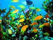 scalefin-anthias-pseudanthias-squamipinnis-seabasses-serranidae_33917