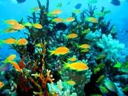 scalefin-anthias-pseudanthias-squamipinnis-seabasses-serranidae_female_33916