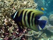 six-banded-angelfish-pomacanthus-sexstriatus-angelfishes-pomacanthidae_4859