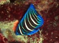six-banded-angelfish-pomacanthus-sexstriatus-angelfishes-pomacanthidae_juv_34097