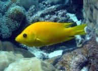 slingjaw-wrasse-epibulus-insidiator-wrasses-labridae_ip_4995