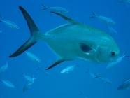 snub-nosed-dart-trachinotus-blochii-trevallies-carangidae_5960