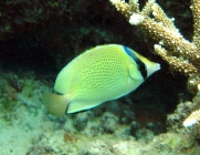 speckled-butterflyfish-chaetodon-citrinellus-butterflyfishes-chaetodontidae_201