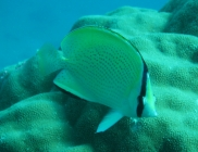speckled-butterflyfish-chaetodon-citrinellus-butterflyfishes-chaetodontidae_2931