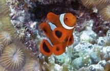 Spine-cheek Anemonefish_Premnas biaculeatus_Anemonefishes_Juvenile_Pomacentridae-Amphiprioninae