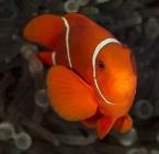 Spine-cheek Anemonefish_Premnas biaculeatus_Anemonefishes_Pomacentridae-Amphiprioninae