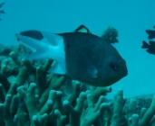 spiny-chromis-acanthochromis-polyacanthus-damselfishes-pomacentridae_3603