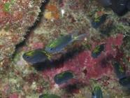 spiny-chromis-acanthochromis-polyacanthus-damselfishes-pomacentridae_juv_3380