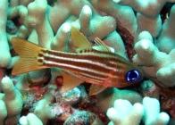 split-banded-cardinalfish-apogon-compressus-cardinalfishes-apogonidae_20720
