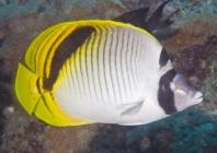 Spotnape Butterflyfish_chaetodon oxycephalus_Butterfly fish_Chaetodontidae