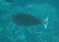 spotted-unicornfish-naso-brevirostris-surgeonfishes-acanthuridae_3554