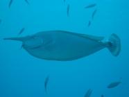 spotted-unicornfish-naso-brevirostris-surgeonfishes-acanthuridae_4084