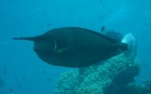 spotted-unicornfish-naso-brevirostris-surgeonfishes-acanthuridae_5743
