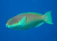 steephead-parrotfish-chlorurus-microrhinos-parrotfishes-scaridae_10781