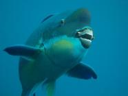 steephead-parrotfish-chlorurus-microrhinos-parrotfishes-scaridae_4187