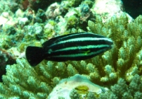 steephead-parrotfish-chlorurus-microrhinos-parrotfishes-scaridae_juv_11523