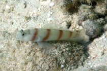 steinitz-shrimpgoby-amblyeleotris-steinitzi-gobies-gobiidae_5027