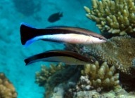 striped-cleaner-wrasse-labroides-dimidiatus-wrasses-labridae_11004