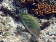 striped-surgeonfish-acanthurus-lineatus-surgeonfishes-acanthuridae_20579