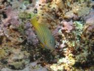 striped-surgeonfish-acanthurus-lineatus-surgeonfishes-acanthuridae_juv_38215