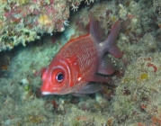 tailspot-squirrelfish-sargocentron-caudimaculatum-squirrelfishes-holocentridae_21692