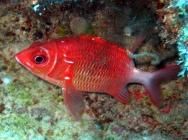 tailspot-squirrelfish-sargocentron-caudimaculatum-squirrelfishes-holocentridae_6198
