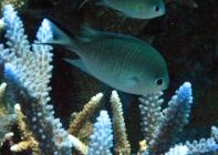 ternate-chromis-chromis-ternatensis-damselfishes-pomacentridae_20600