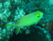threadfin-anthias-pseudanthias-huchtii-seabasses-serranidae_female_4063