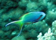 threadfin-anthias-pseudanthias-huchtii-seabasses-serranidae_male_4058