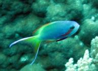 threadfin-anthias-pseudanthias-huchtii-seabasses-serranidae_male_4058