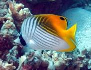 threadfin-butterflyfish-chaetodon-auriga-butterflyfishes-chaetodontidae_21060