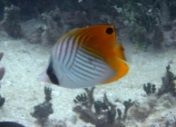 threadfin-butterflyfish-chaetodon-auriga-butterflyfishes-chaetodontidae_juv_5278