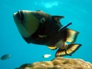 titan-triggerfish-balistoides-viridescens-triggerfishes-balistidae_3912