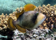 titan-triggerfish-balistoides-viridescens-triggerfishes-balistidae_juv_5253
