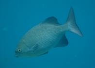 topsail-drummer-kyphosus-cinerascens-sea-chubs-kyphosidae_6380