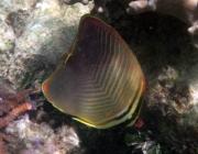triangular-butterflyfish-chaetodon-baronessa-butterflyfishes-chaetodontidae_5369
